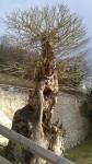ein besonderer Baum am Schloss Prunn